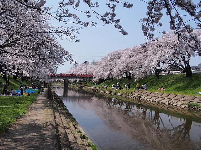 新境川堤の桜(岐阜県): 五郎太夫の旅日記